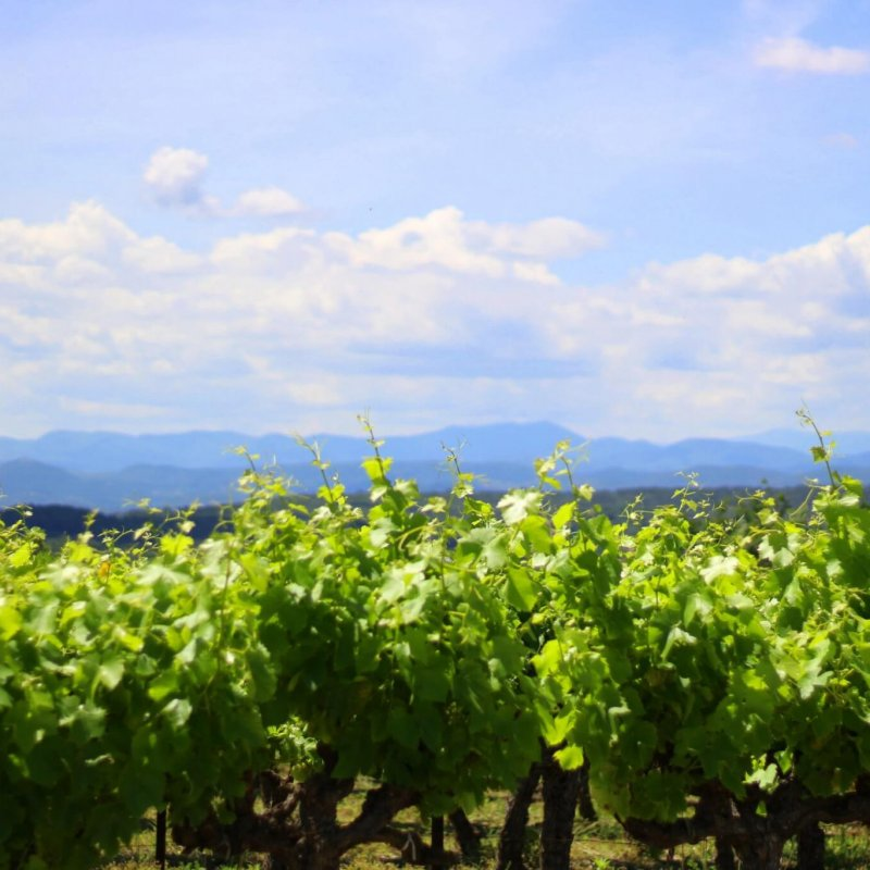 Allée de vigne avec vue sur les Cévennes